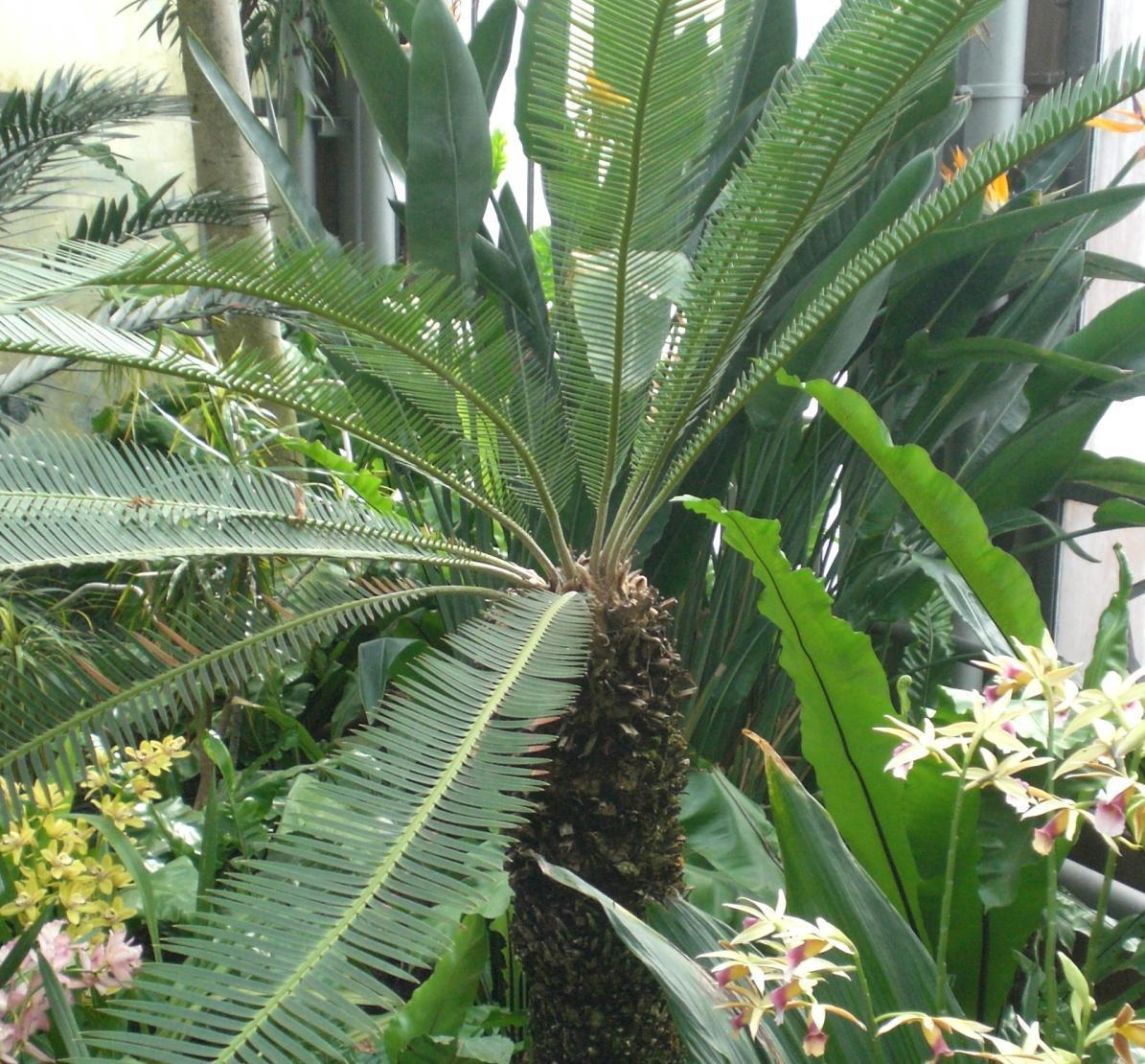 Botanischer Garten Karlsruhe öffnungszeiten: Doppel-Palmfarn