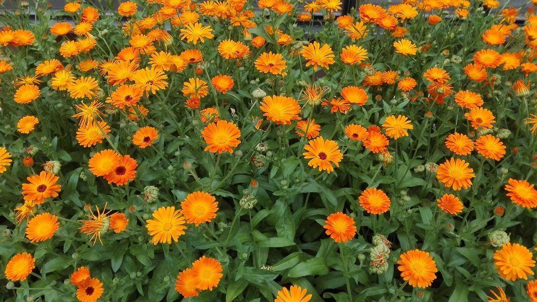 Botanischer Garten Karlsruhe, Detailaufnahme Ringelblumenbeet