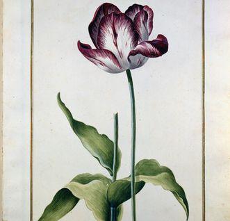 Aquarellblatt aus dem Karlsruher Tulpenbuch; Foto: Badische Landesbibliothek