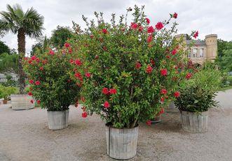 Botanischer Garten Karlsruhe, Hibiskusstrauch