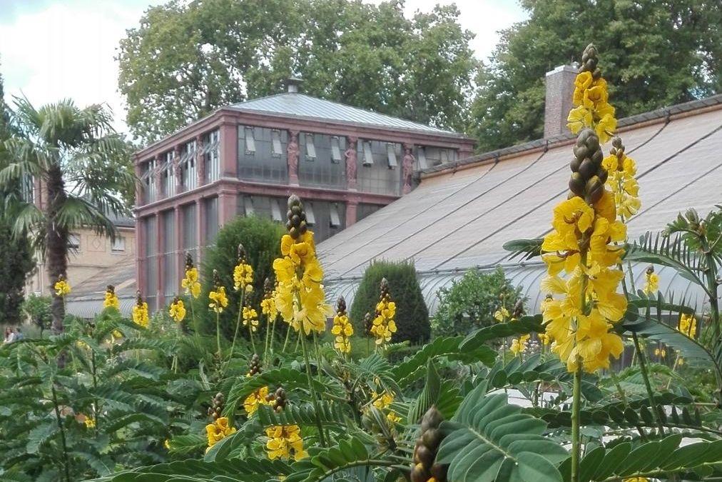 Botanischer Garten Karlsruhe, Senna didymobotrya