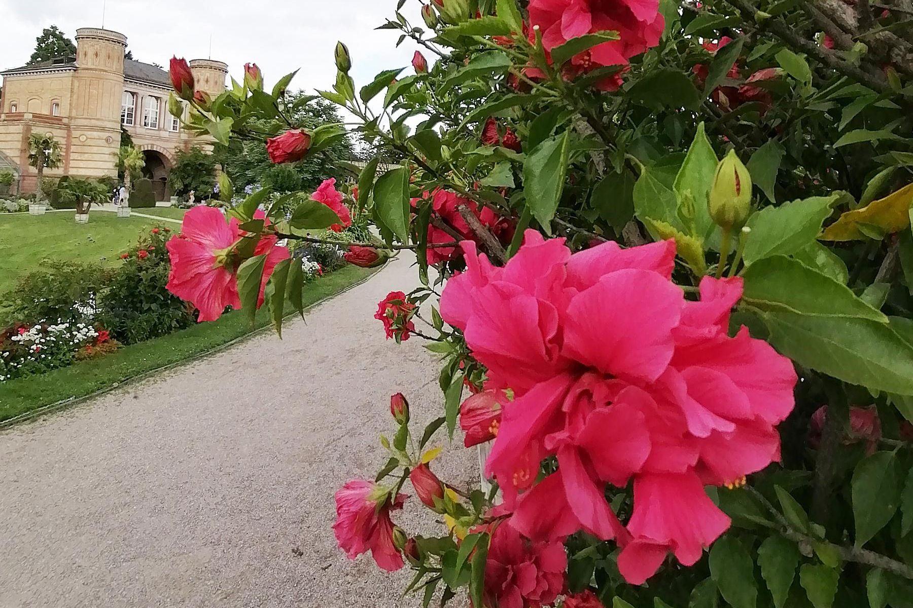 Botanischer Garten Karlsruhe, Hibiskus