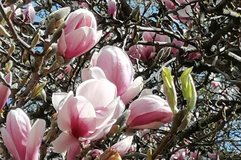 Botanischer Garten Karlsruhe, Magnolienblüte