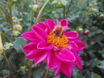 Botanischer Garten Karlsruhe, Dahlie; Foto: Staatliche Schlösser und Gärten Baden-Württemberg, Thomas Huber