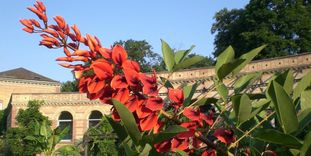 Image: Cockspur coral tree (Erythrina crista-galli) in front of the gatehouse at the Karlsruhe Botanical Gardens