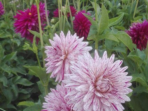 19_karlsruhe_botanischer-garten-karlsruhe_dahlien_163743_foto-ssg-thomas-huber.1800.jpg