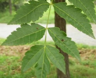 Leaves from the golden rain tree. Image: Wikipedia, in the public domain