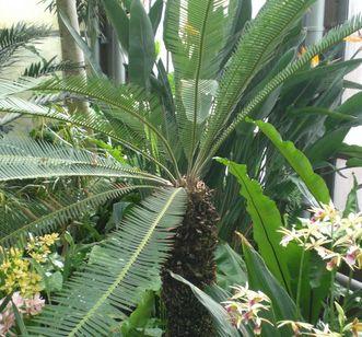 Doppel-Palmfarn (Dion edule) im Botanischen Garten Karlsruhe