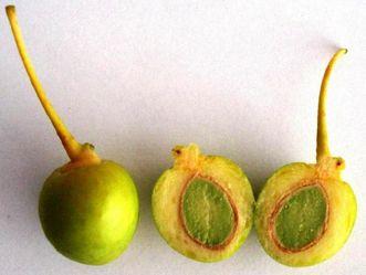 Gingko-Samen, ganz und aufgeschnitten.