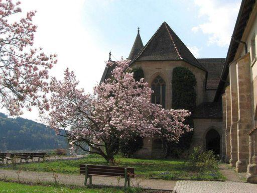 Kloster Lorch, Magnolie vor der Klosterkirche