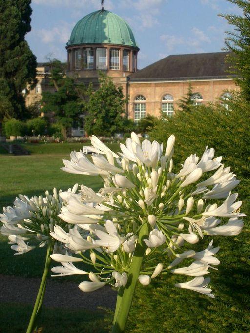 Botanischer Garten Karlsruhe, Agapanthus