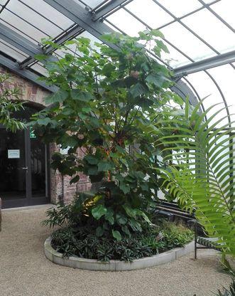 Botanischer Garten Karlsruhe, Hortensie