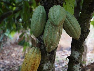 Kakaopflanze mit Kakaofrucht