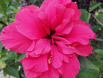 Botanischer garten Karlsruhe, Hibiskusblüte