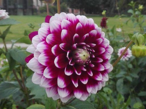 19_karlsruhe_botanischer-garten-karlsruhe_dahlien_164115_foto-ssg-thomas-huber.1800.jpg