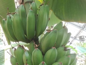 Botanischer Garten Karlsruhe, Banane