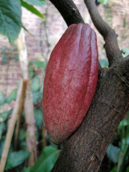 Botanischer Garten Karlsruhe, Kakaobaum